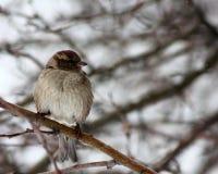 Sparrow Royalty Free Stock Photo