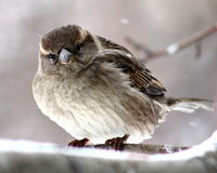 Sparrow. On a branch in winter forest royalty free stock images