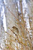 Sparrow on branch in winter snow. Sparrow on branch in winter the snow blurred background selective focus Stock Photo