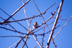 Sparrow on branches Royalty Free Stock Photography