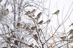 Sparrow on branches of bushes. Winter weekdays for sparrows. Com. Mon sparrow on the branches of currants Royalty Free Stock Photo