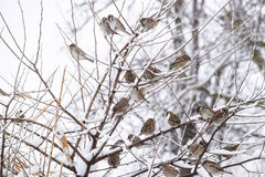Sparrow on branches of bushes. Winter weekdays for sparrows. Common sparrow on the branches of currants Stock Photography