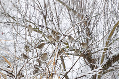 Sparrow on branches of bushes. Winter weekdays for sparrows. Common sparrow on the branches of currants Stock Photos