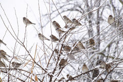 Sparrow on branches of bushes. Winter weekdays for sparrows. Common sparrow on the branches of currants Royalty Free Stock Photo