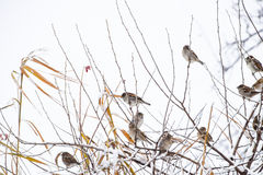 Sparrow on branches of bushes. Winter weekdays for sparrows. Common sparrow on the branches of currants Royalty Free Stock Image
