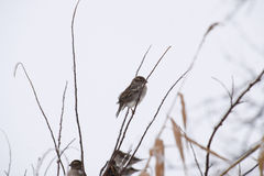 Sparrow on branches of bushes. Winter weekdays for sparrows. Common sparrow on the branches of currants Royalty Free Stock Photography