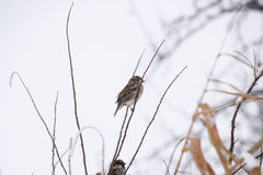 Sparrow on branches of bushes. Winter weekdays for sparrows. Common sparrow on the branches of currants Stock Image