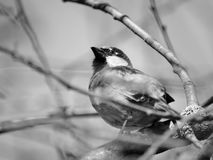 Sparrow on the branches Royalty Free Stock Image