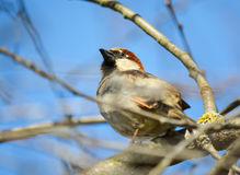 Sparrow on the branches Royalty Free Stock Photography