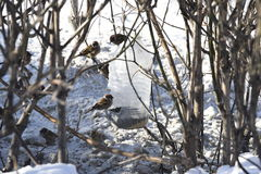 Sparrow in Branches. Snow winter Royalty Free Stock Photos