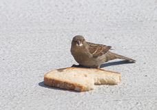 Sparrow and bread. Royalty Free Stock Photos