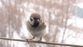 Sparrow and Bullfinch fight. Wintertime. Slow motion stock video footage