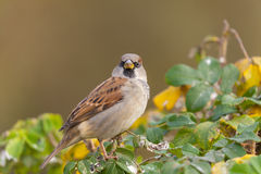 Sparrow on a bush Stock Image