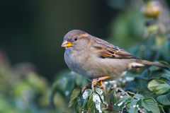 Sparrow on bush Stock Photography