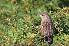Sparrow on the bush Royalty Free Stock Photography