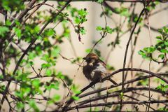 Sparrow on a bush royalty free stock image