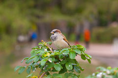 Sparrow on a bush in park. Sparrow on a bush branch in autumn park Stock Photography