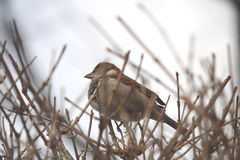 Sparrow in Bush Royalty Free Stock Photos
