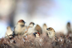Sparrow in the bushes  wildlife wing winter zoology. Sparrow in the  wing winter zoology Royalty Free Stock Images
