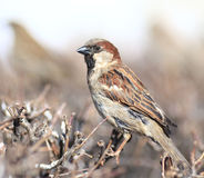 Sparrow in the bushes  wildlife wing winter zoology. Sparrow in the  wing winter zoology Royalty Free Stock Photography