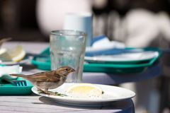 Sparrow in a cafe Stock Photography