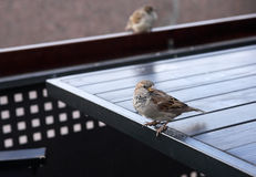 Sparrow In Cafe Royalty Free Stock Images