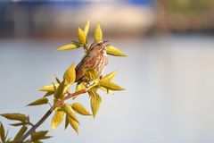 Song Sparrow Calls Out During Mating Season. Close profile view of a Song Sparrow standing on a branch while calling out during Spring mating season Royalty Free Stock Image