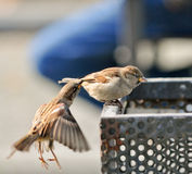 Sparrow-cautch-sparrow Stock Image