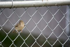 Sparrow on chain link fence Stock Photos