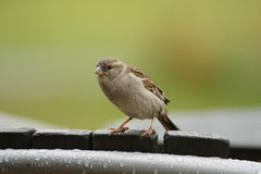 Sparrow on a Chair. In Fox Glacier, New Zealand Stock Images