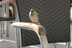 Sparrow on chair. A sparrow is sitting on chair and wait to have something to eat from the guests at the restaurant outdoors in Torrevieja, Spain Royalty Free Stock Images