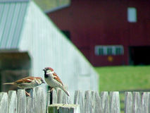 Sparrow chat. Sparrows on fence with farm background Royalty Free Stock Photo
