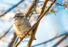 Sparrow in Cherry tree. Close up of sparrow sitting in cherry tree Stock Photo