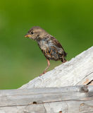 Sparrow chick Royalty Free Stock Photo