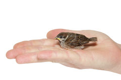 Sparrow chick baby yellow-beaked in male hand Stock Image