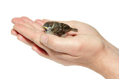 Sparrow chick baby yellow-beaked in male hands Royalty Free Stock Images