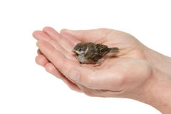 Sparrow chick baby yellow-beaked in male hands Royalty Free Stock Photo