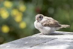 Sparrow chick Stock Images