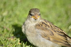 Sparrow chick inexperienced Royalty Free Stock Photo