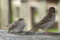 Sparrow chick and mother Stock Images