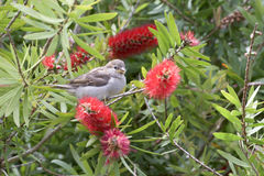 Sparrow chick in Pohutukawa stock photo