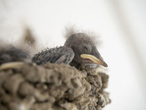 Sparrow chicks Royalty Free Stock Photo