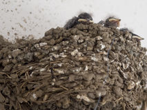 Sparrow chicks Stock Photos
