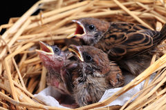 Sparrow chicks waiting to be fed. Royalty Free Stock Photos