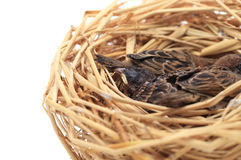 Sparrow chicks waiting to be fed on white background. stock photo