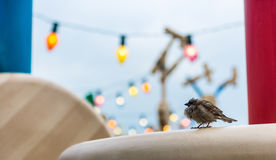 Sparrow in the city Stock Photography