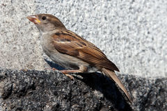 Sparrow Stock Photo