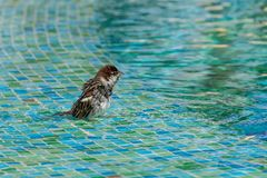 Male sparrow bathing in the shallow end of a swimming pool royalty free stock image