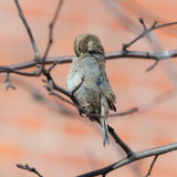 Sparrow cleans feathers Royalty Free Stock Images