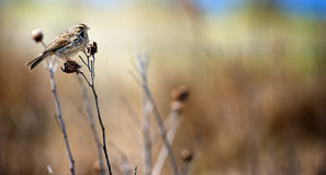 Sparrow Clinging to Grass Stalk Royalty Free Stock Photos